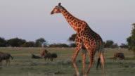 A giraffe walking past buffalo. video