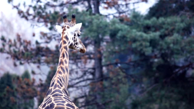 Giraffe walking. video