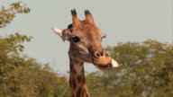Giraffe_Knochen video