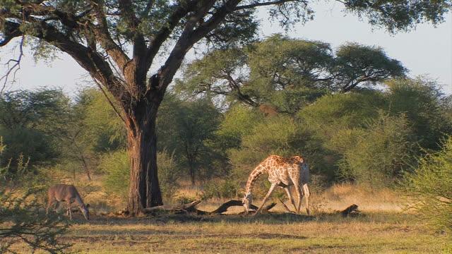 Giraffe_total video