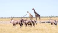 LS Giraffes And Gemsboks Drinking Water video