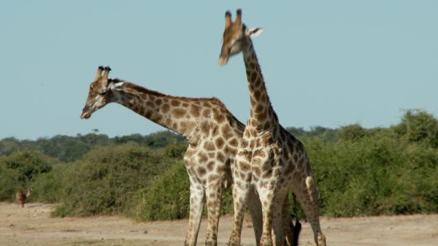 Giraffes fighting video