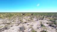HELI Giraffes Running In The African Savannah video