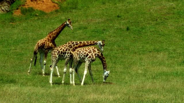 Giraffes video