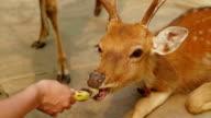 Girl feeding the deers banana from hand video