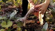 A girl in the garden fidgeting with a purple kale turnip pulled off the soil video