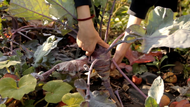 A girl in the garden pulling a purple kale turnip off the soil. A close-up video