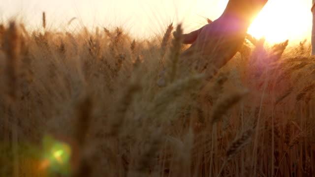 Girl's Hand Touching Wheat Ears Closeup video
