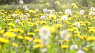 HD VIDEO: glade of dandelions video