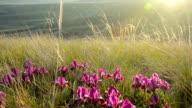 Glade of lilac wild irises video