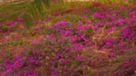 Glade with flowering red plants video