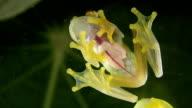Glass Frog (Hyalinobatrachium sp.) video