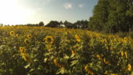 Gliding Over Sunflowers video
