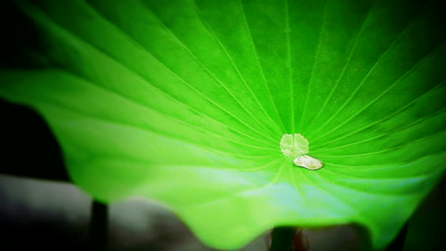 Glob of rains rolls on lotus leaf in wind video