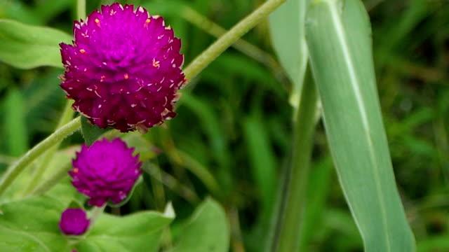 Globe amaranth  flower  in garden video