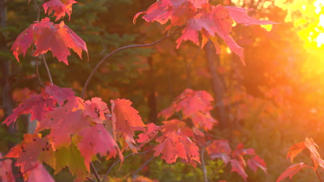 CLOSE UP Glow of golden sunset on autumn foliage leaves on maple tree canopy video