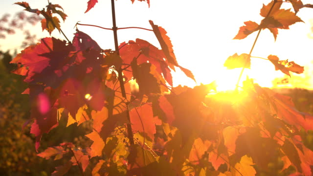 CLOSE UP Glow of golden sunset on fall foliage leaves on young maple tree canopy video