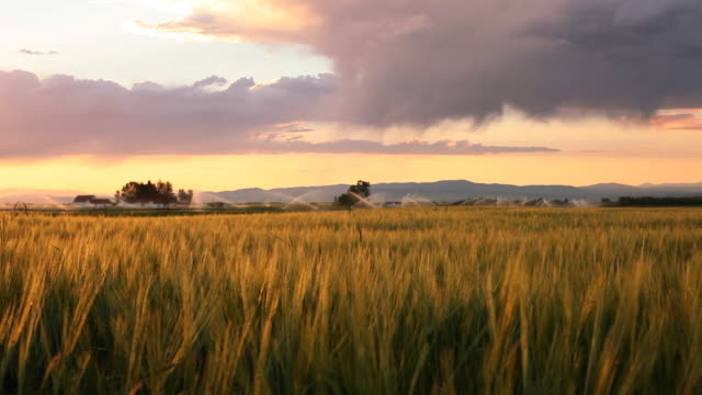 Glowing wheat at sunset video