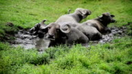 Gnu resting in water because of hot weather video