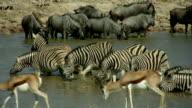 Gnu zebra impala video