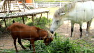 Goat And Horse Eating Grass Together video