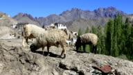goat and Lamayuru monastery in Ladakh video