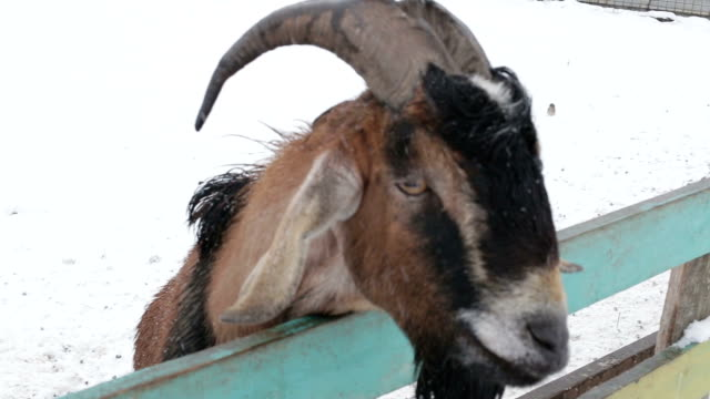 Goat close-up on a farm in winter video