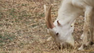 Goat Eating Food in farm video