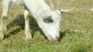 goat feeding video