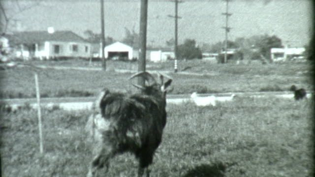 Goat in Los Angeles 1930's video