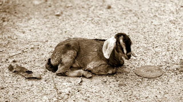 Goat kid resting video