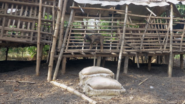 Goat kid standing inside of his shed made out of bamboo video