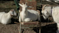 Goat Resting is Nudged Out of Chair video
