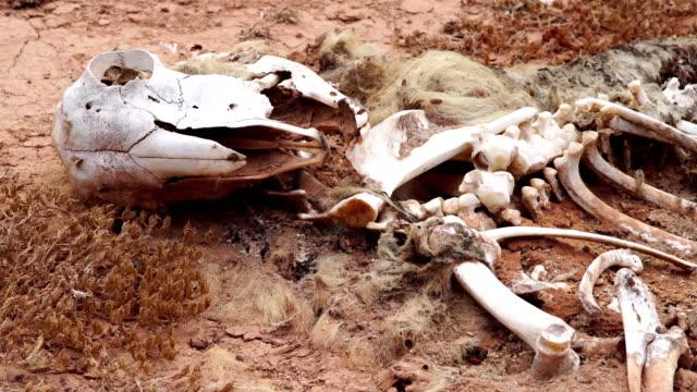 Goat skeleton -Fuerteventura video