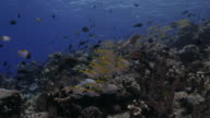 Goatfish schooling in coral reef video