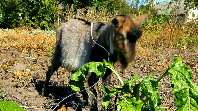 Goatling eating leaves video