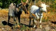 goatlings eating leaves video
