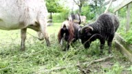 Goats and cow in the farm eating grass video