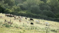 Goats and sheeps grazing on a meadow video