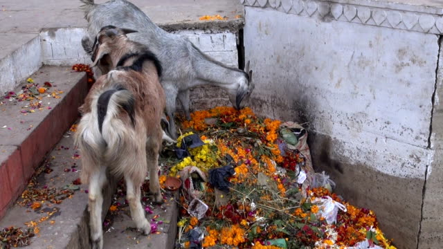 Goats feeding on rubbish by Ganges river in Varanasi, India video