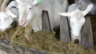Goats feeding video