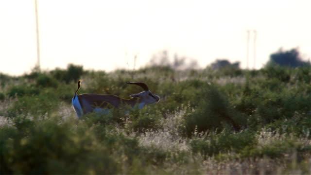 Goitered Gazelle video