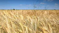 gold Field of wheat and blue sky video