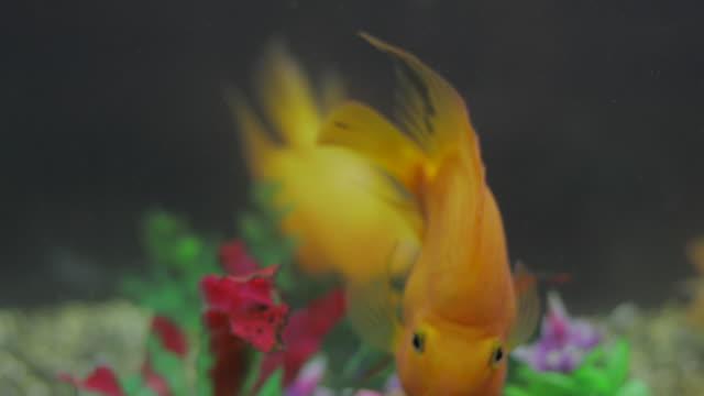 Gold Fish video