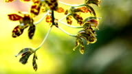 gold tiger orchid video
