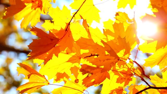 Golden Autumn Foliage video