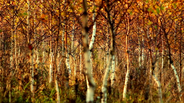 Golden autumn in birch forest video