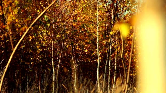Golden autumn in forest video