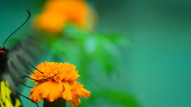 Golden Birdwing Butterfly (Troides aeacus) video