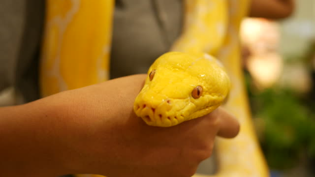 Golden Burmese Python video